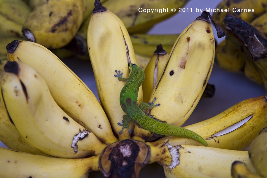 You might want to choose another bunch of bananas.  This little gecko has claimed these. Maui.
