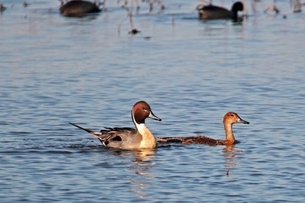 Pintails in action (1)
