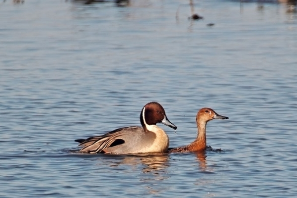 Pintails (2)