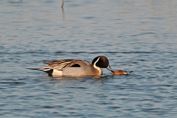 Pintails (3)
