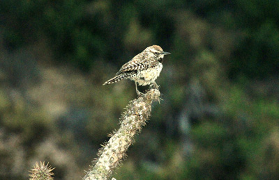 Photo 1 Cactus Wren.jpg