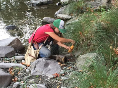 Collecting seed along Alameda Creek.  Photo courtesy the author.