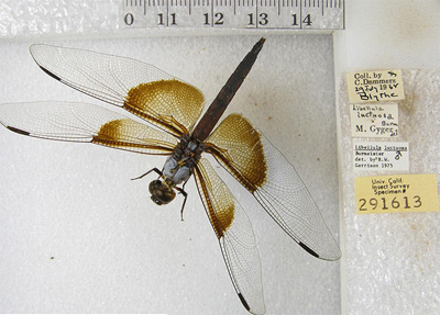 Photograph of a widow skimmer (Libellula luctuosa) specimen, taken as part of the UC Berkeley Calbug project to digitize insect specimen data from California's entomology collections.