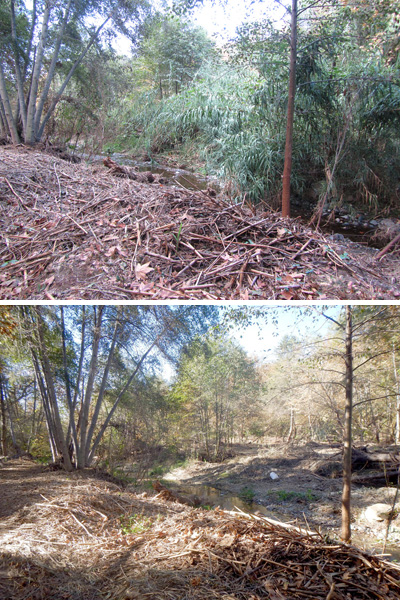 From top: Improvements on site with the removal of Arundo is clear with decreased competitive species and increased sunlight reaching more areas. The photos show the change between one month.