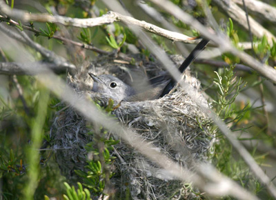 Plant and animal species surveys may also be affected by drought. Dormant plants can cause loss of local habitat or food shortages which in turn can affect populations of sensitive species like the California gnatcatcher.