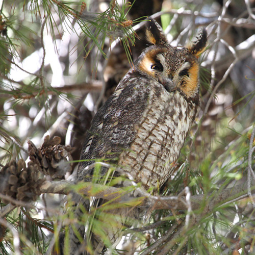 Long-eared Owl  sponsors receive a half-page ad in the conference program, a medium-sized ad in one issue of Ecesis, three complimentary registrations, and second opportunity to reserve your booth location.