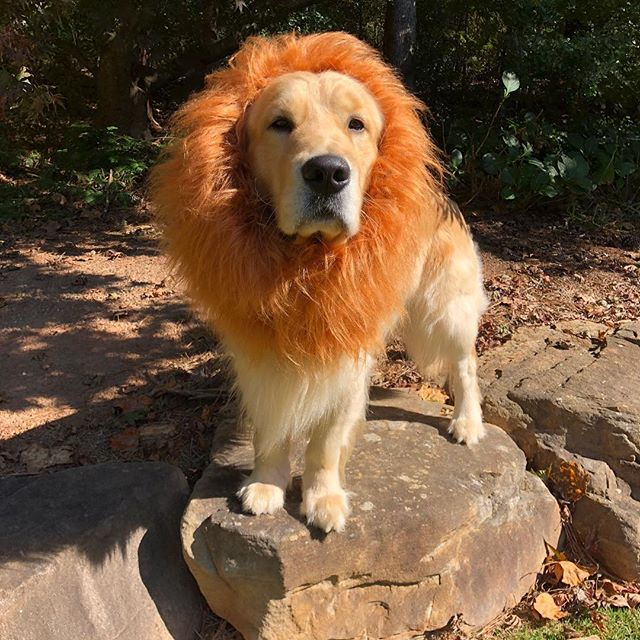 Lion King Maverick 🎃🦁 Happy Halloween! #maravea #lowcountry #resort #madeinthesouth