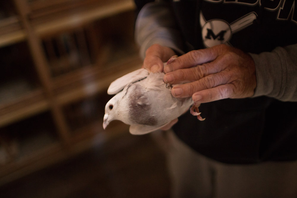 Steve holds up one of his pigeons that was injured in a training flight. Pigeon racing receives backlash from animal rights groups because the birds can get injured by flying into low hanging wires or simply getting lost and not returning to the loft.