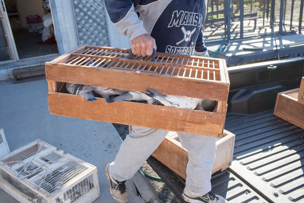 Steve carries his pigeons in a crate to bring them out for a training flight in Escondido, CA.
