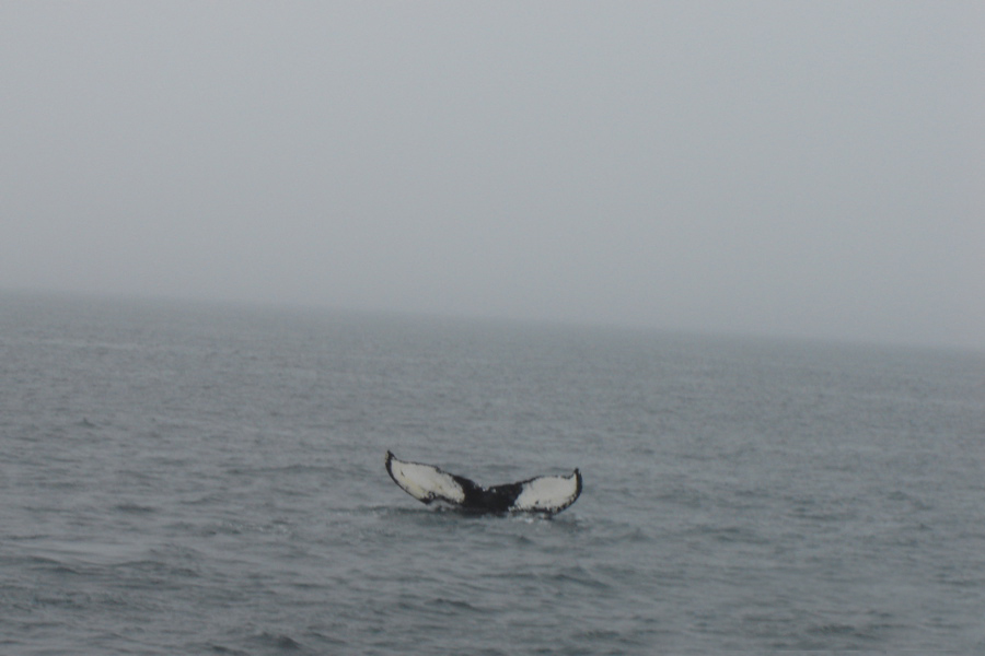 Whale Watching Trip - Brier Island