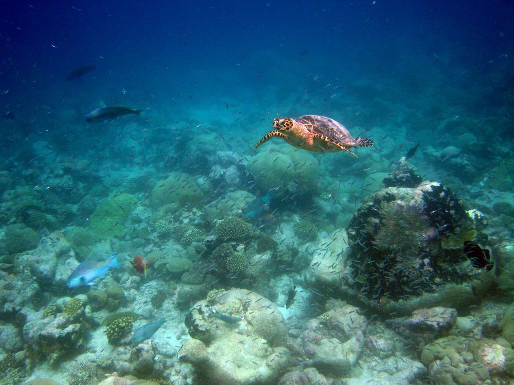 Turtles also make the water around Chagos their home. Foreign and Commonwealth Office/Flickr (CC BY-ND 2.0)