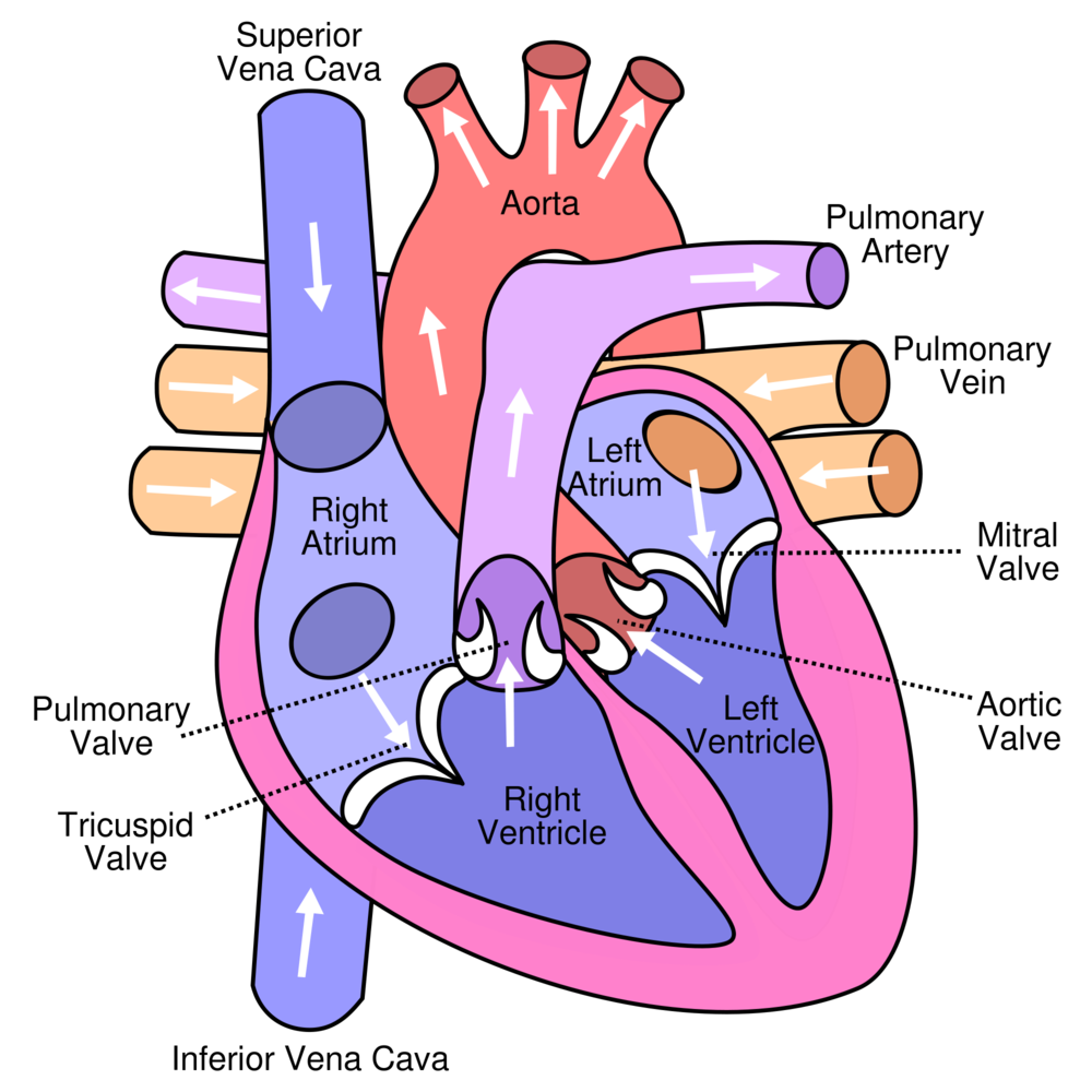 The adult human heart. In the fetal heart, the left and right atria are connected via the foramen ovale.   Wapcaplet/Wikimedia Commons  (CC BY-SA 3.0)