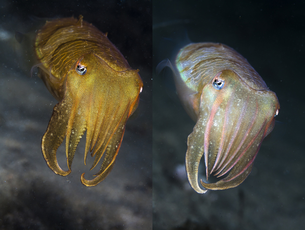 By aspiring to have clothes that change colour, we're chasing the cuttlefish, which does this without the aid of technology. Klaus Stiefel/Flickr (CC BY-NC 2.0)