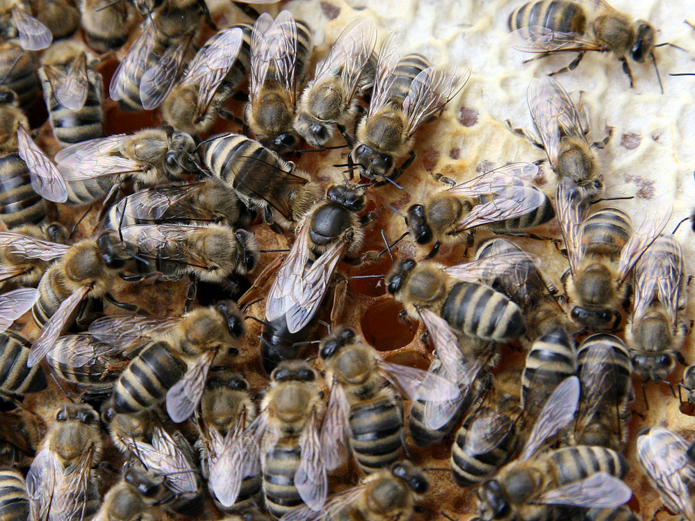 A queen bee (centre) develops differently from her workers not because of genetics, but because she is fed royal jelly during development.   Waugsberg/Wikimedia Commons  (CC BY-SA 3.0)