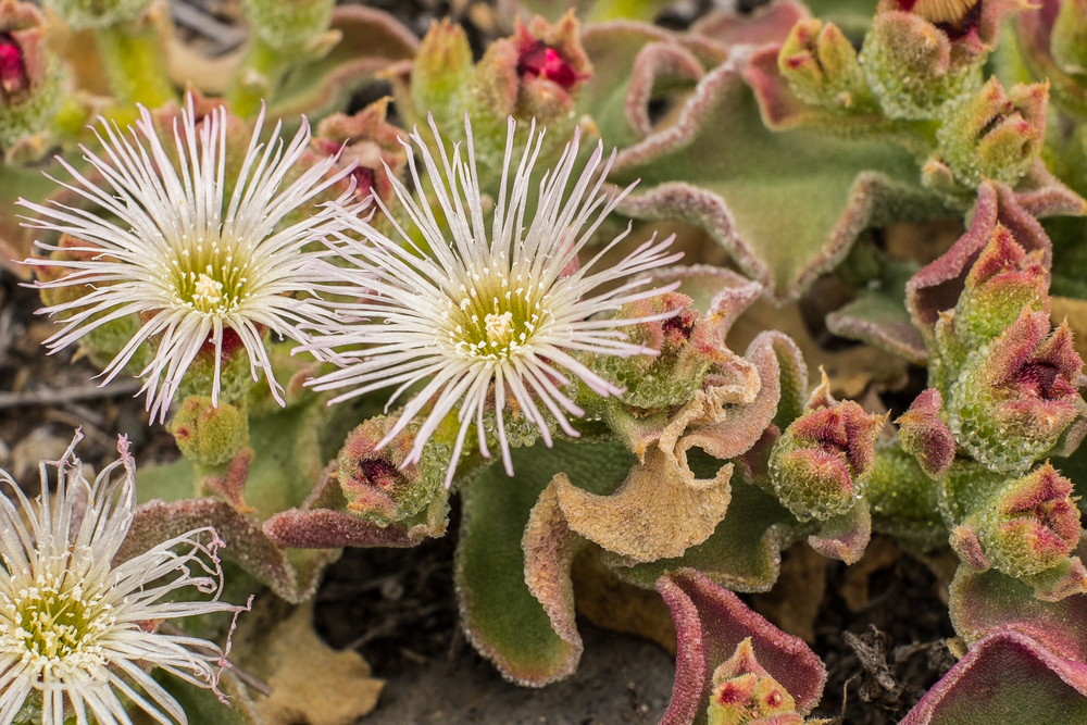 The common ice plant  (Mesembryanthemum crystallinum)  uses a different metabolic pathway for photosynthesis when faced with dry or salty conditions.   8#X/Flickr  (CC BY-NC-ND 2.0)