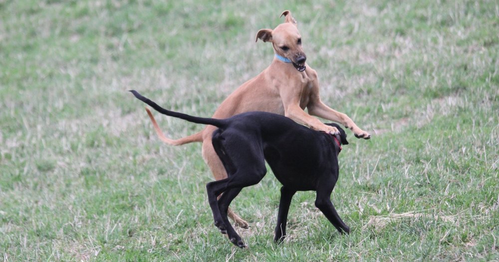 Dogs of various breed, size and sex – including John's pet whippets shown above – contributed their faeces to the experiment.  John Sharp (used with permission)