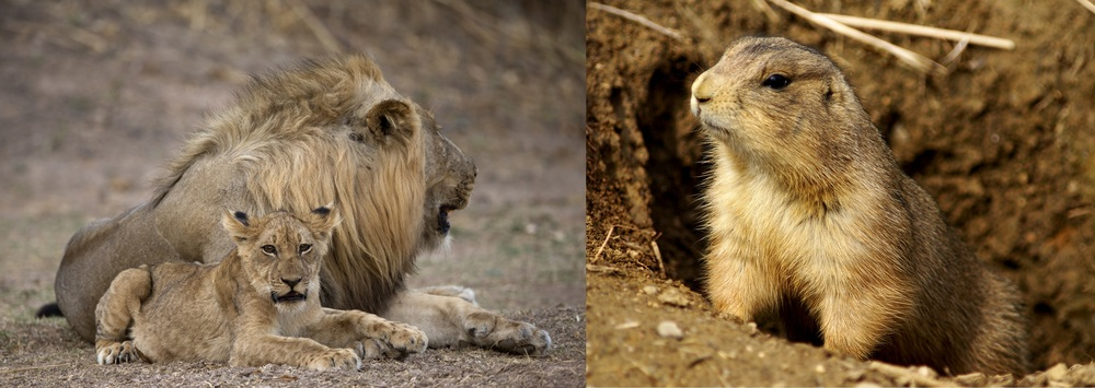 For many animal species, like the lion (left) and prairie dog (right), cannibalism is an ordinary fact of life.   Lip Kee/Flickr  (CC BY-SA 2.0);  Asiir/Wikimedia Commons  (CC BY-SA 2.5)