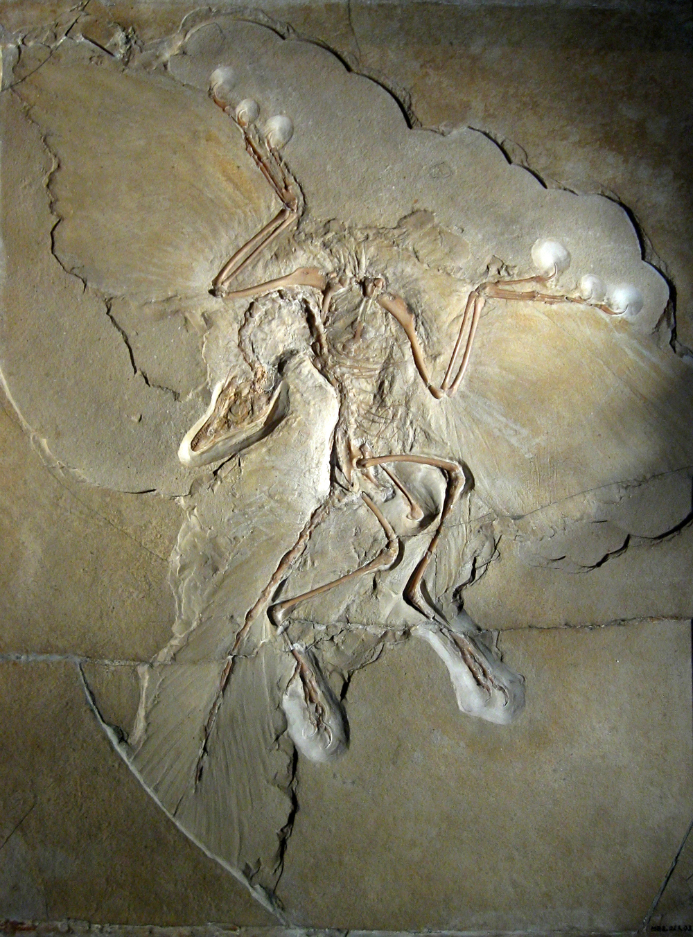 The discovery of  Archaeopteryx  provided early support for Darwin's theory of evolution. Pictured here is the Berlin specimen, discovered in 1874/75.   H. Raab/Wikimedia Commons  (CC BY-SA 3.0)