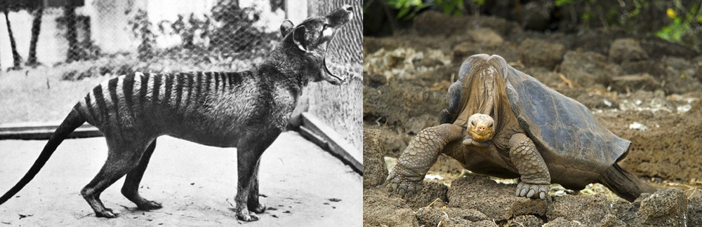 """Benjamin"" the thylacine (left) and Lonesome George the Pinta Island tortoise (right) are well-known endlings.   Wikimedia Commons  (public domain);  Arturo de Frias Marques/Wikimedia Commons  (CC BY-SA 3.0)"