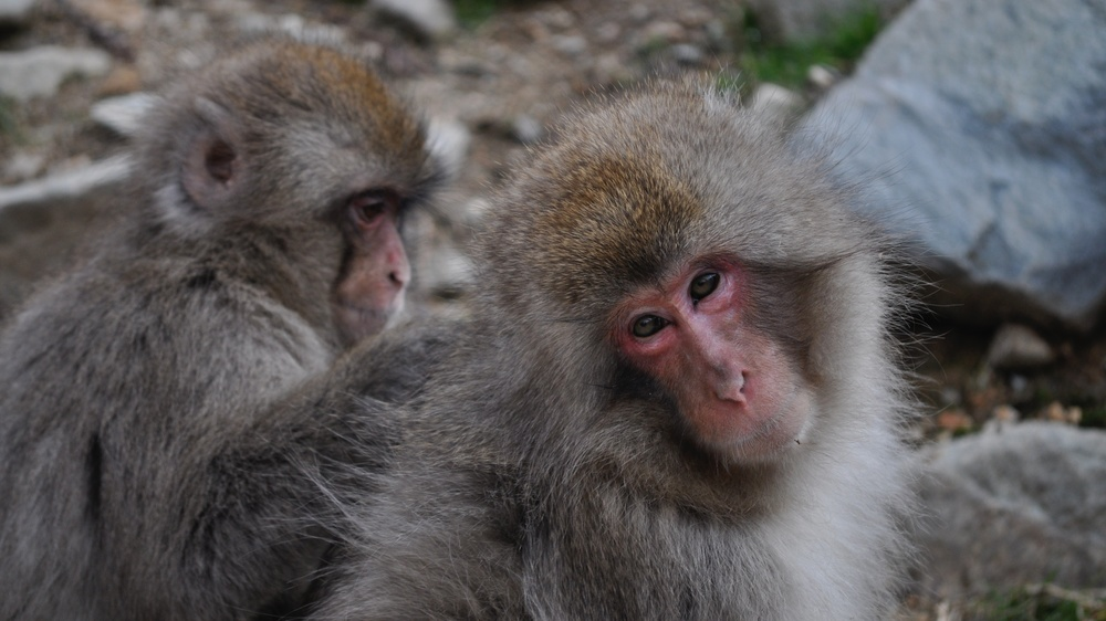 Homosexual behaviour is relatively commonplace in female Japanese macaques. David McKelvey/Flickr (CC BY-NC-ND 2.0)
