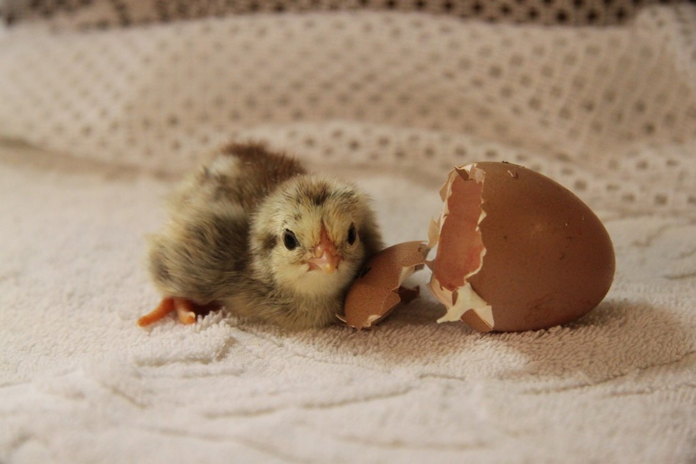 Even prior to hatching, domestic chickens are responsive to their environment. Lydia Jacobs (public domain)