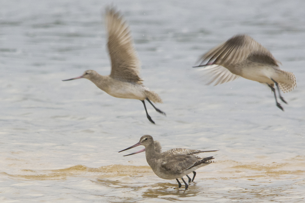 A vagrant Hudsonian godwit (front), mingling with native godwits at Wollumboola Lake. © Owen Lishmund (used with permission)