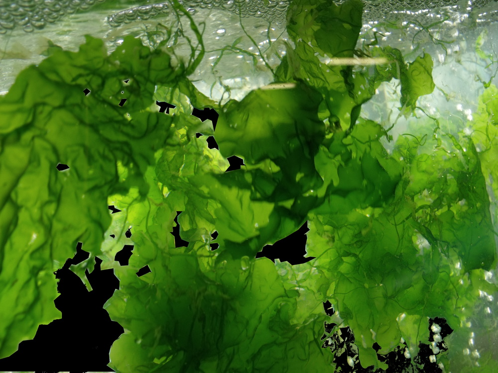 Pia Winberg's company produces nutrient-rich marine algae (otherwise known as seaweed). © Venus Shell Systems (used with permission)