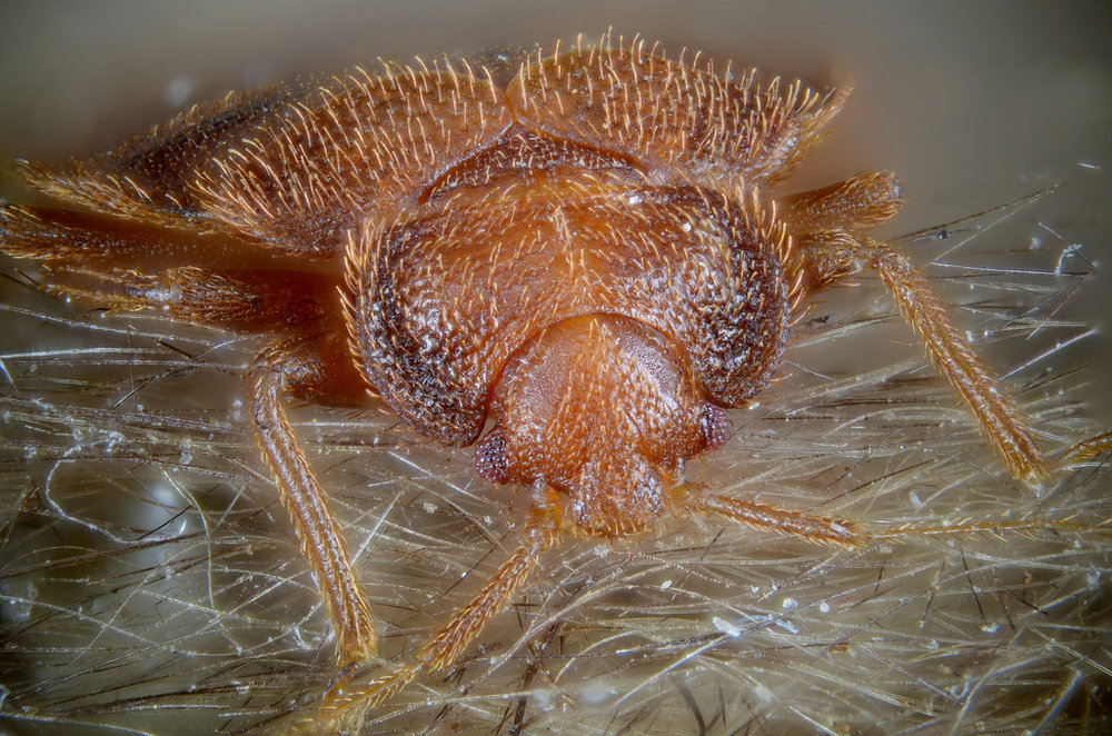 Bed bugs aren't the cutest critters out there, let's be honest.   Gilles San Martin/Flickr  (CC BY-SA 2.0)