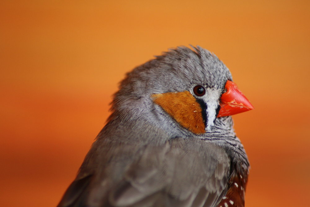 The FOXP2 gene also affects vocal learning in songbirds, such as this zebra finch. Maurice van Bruggen/Wikimedia Commons (CC BY-SA 3.0)