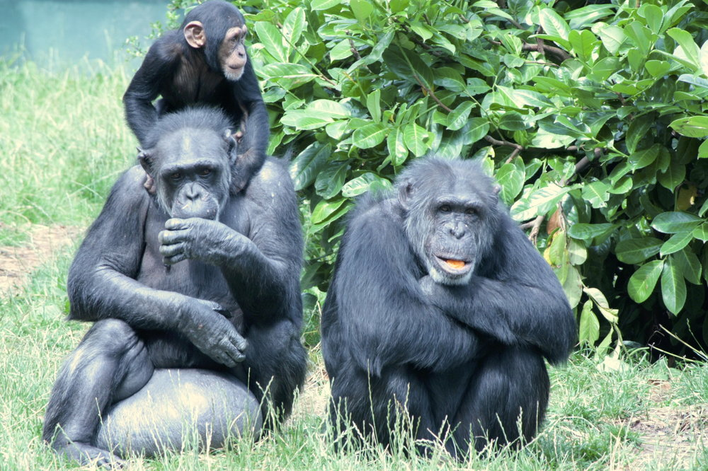 Human social structure is often compared to that of chimpanzees. Bald Wonder/Flickr (CC BY-ND 2.0)
