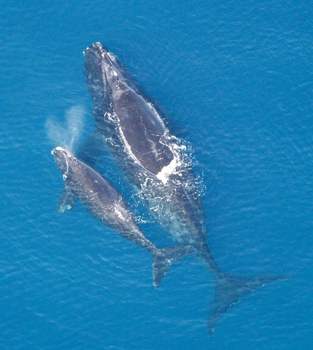 A North Atlantic right whale and her calf.   NOAA/Wikimedia Commons  (public domain)