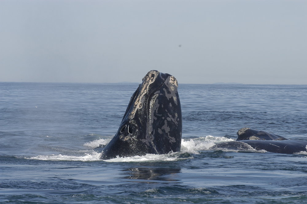 A North Atlantic right whale spyhopping, or lifting its head to survey its above-water surroundings, while in a social group. Moira Brown/Wikimedia Commons (CC BY)