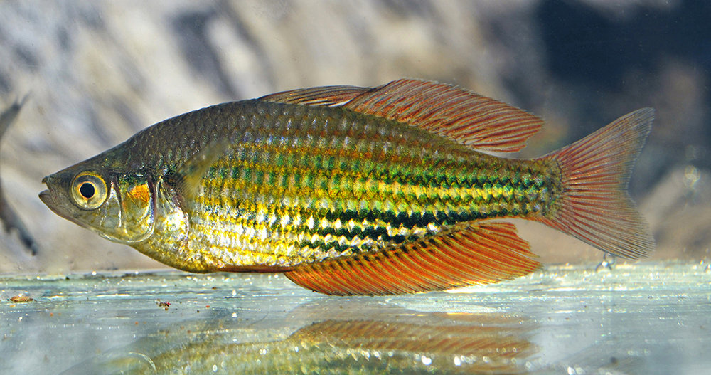 A male Running River rainbowfish. © Steve Hume