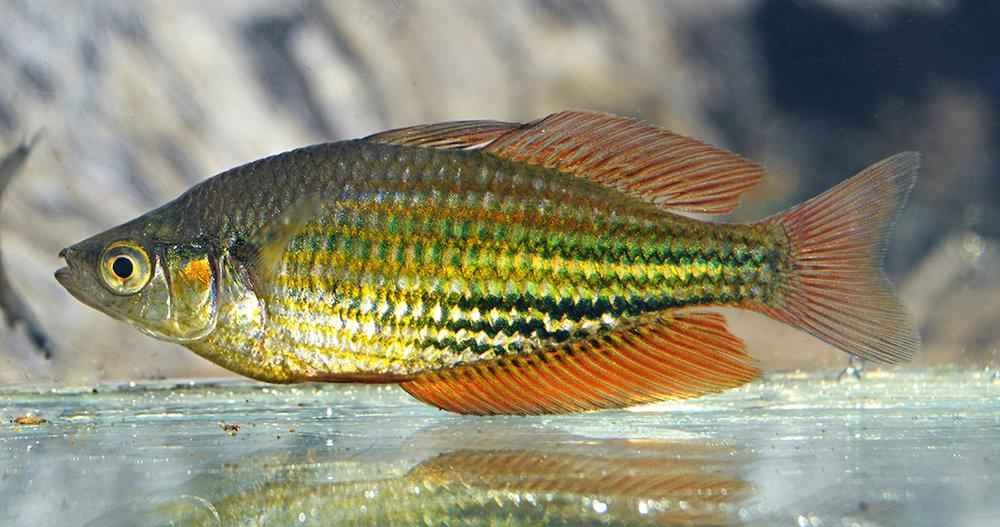 A male Running River rainbowfish.© Steven Hume