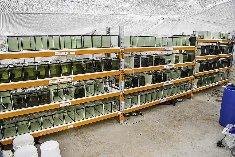 Facilities for breeding Running River rainbowfish at the University of Canberra. © Michael Jones