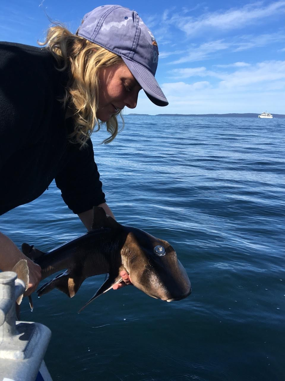 Macquarie University researcher Sherrie Chambers releases a Port Jackson shark fitted with an acoustic tag.  © Catarina Vila Pouca
