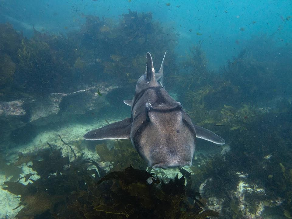 Preliminary data suggest that Port Jackson sharks can detect magnetic fields.  © Johann Mourier