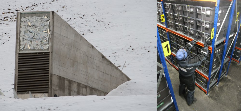 The entrance (left) and interior of the Svalbard Global Seed Vault on the island of Spitsbergen, Norway.   Bjoertvedt/Wikimedia Commons  (CC BY-SA 3.0);  NordGen, Dag Terje Filip Endresen/Wikimedia Commons  (public domain)