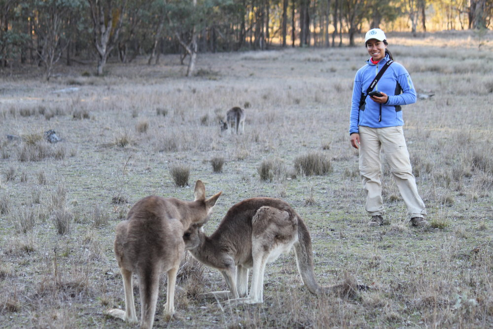 University of Queensland researcher Paloma Corvalan with male kangaroo Tim, who is sniffing a female.  © Natalie Freeman