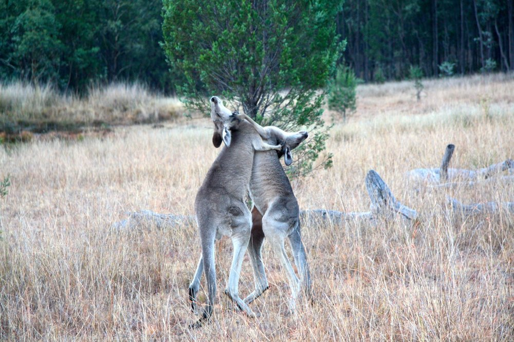 Two male kangaroos engaged in combat.  © Paloma Corvalan
