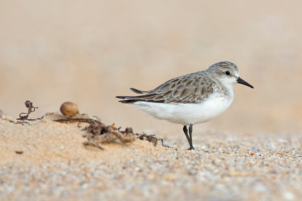 A red-necked stint. © Dan Weller
