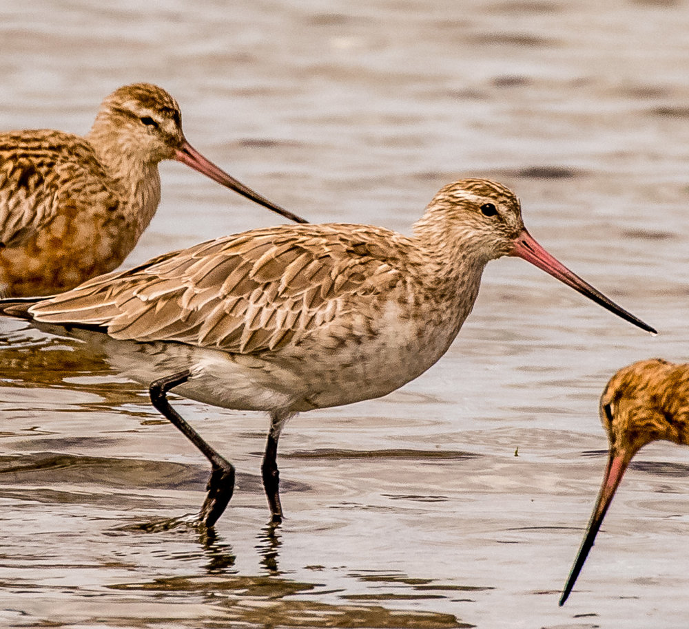 A bar-tailed godwit. © Premnath Bates