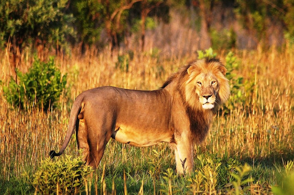Zulu, the adult male in the lion pride. © Emma Dunston