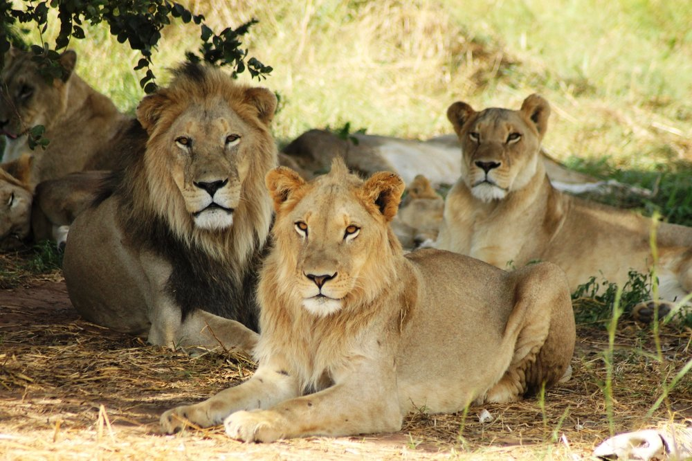 The pride rest in the shade of a tree: (from left to right) Zulu, LE3 and Leya. © Emma Dunston
