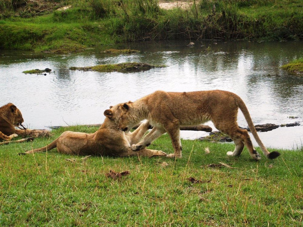 Lions in the rehabilitation phase of ALERT's reintroduction program. © Emma Dunston