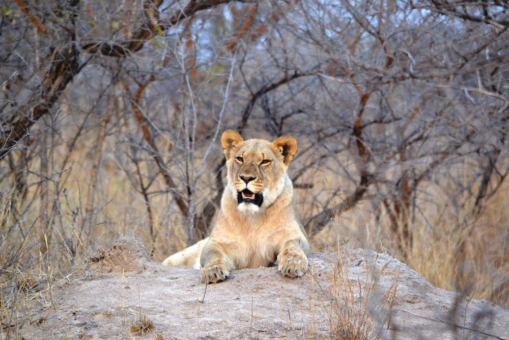 Lions in the release phase of ALERT's reintroduction program. © Emma Dunston
