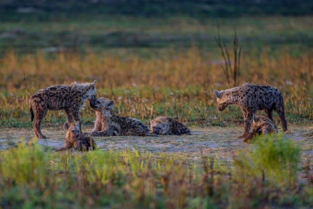 Spotted hyena can be very social animals. © Bob Mandinyenya