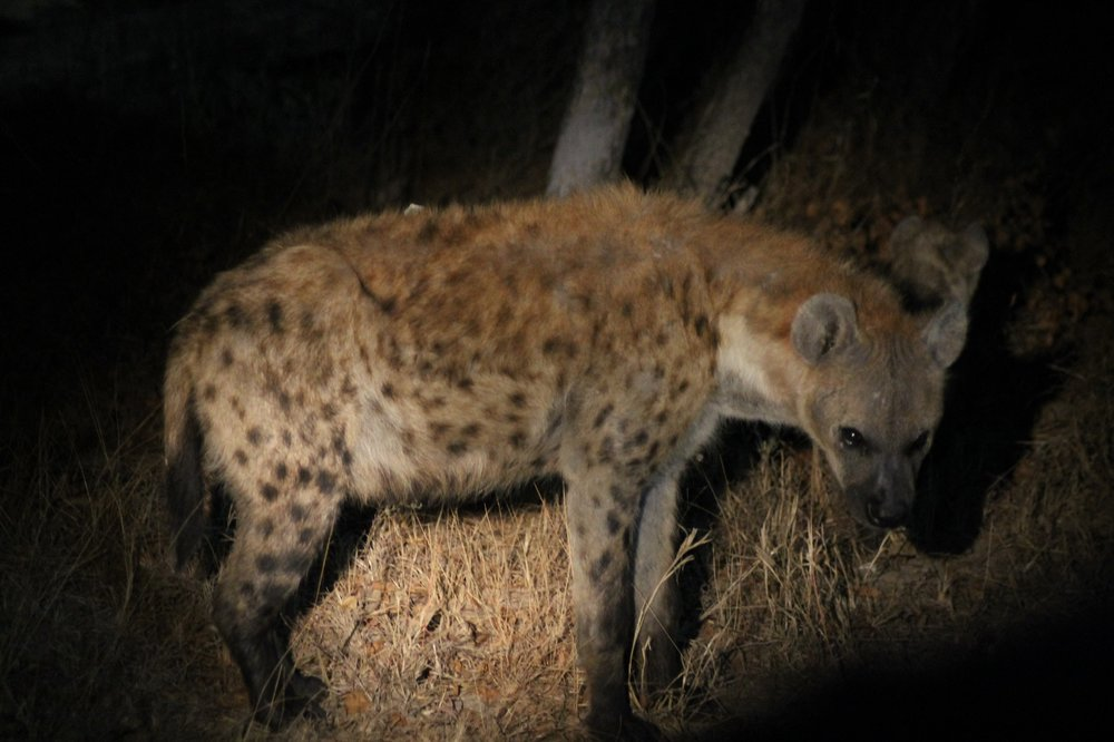 An adult hyena in the darkness. © Emma Dunston