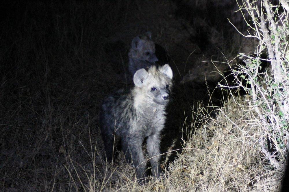 Juvenile spotted hyena.© Emma Dunston