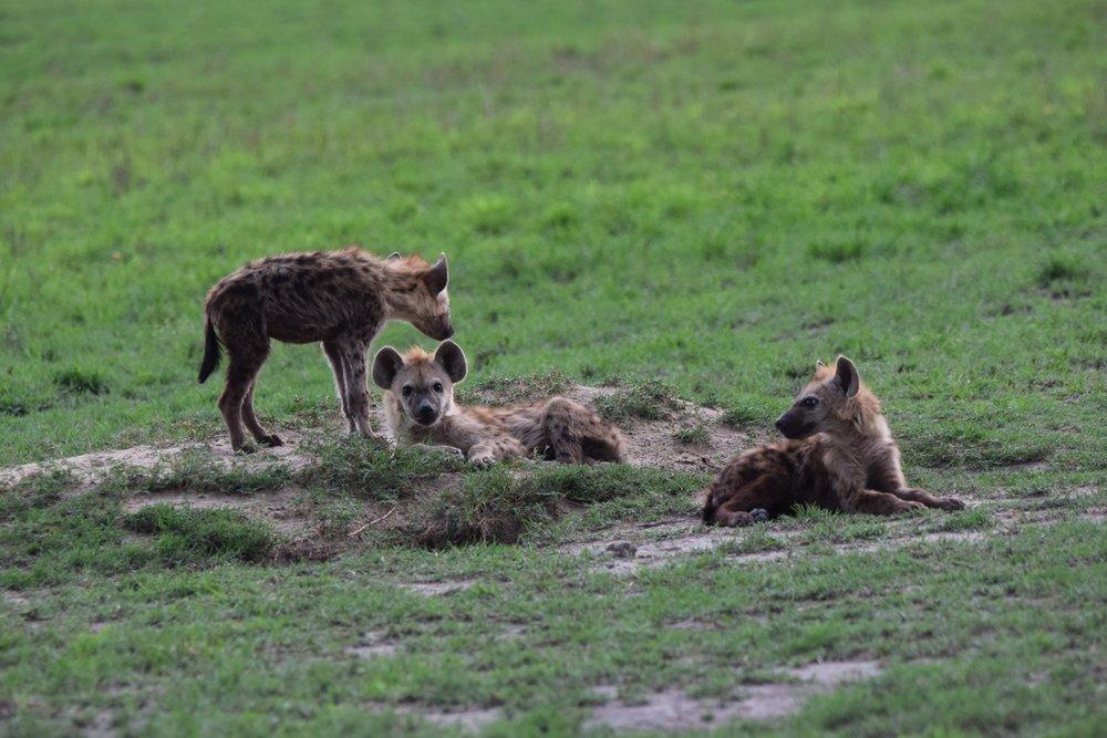 A family of spotted hyena. ©Bob Mandinyenya